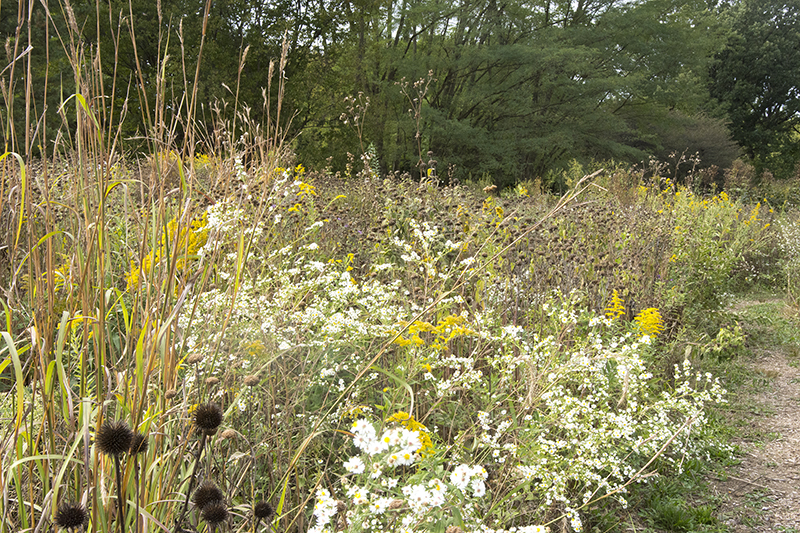 Tall grasses, yellow and white wildflowers, and the brown heads of dormant cone flowers make up a sea of color in the late autumn prairie.