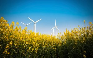 yellow rapeseed flower and wind energy