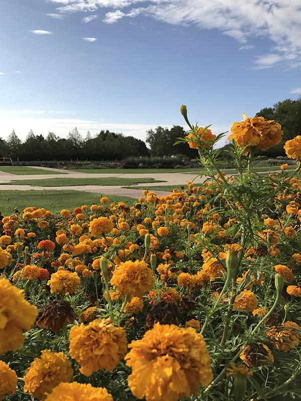 closeup of bright orange marigold flowers in planter