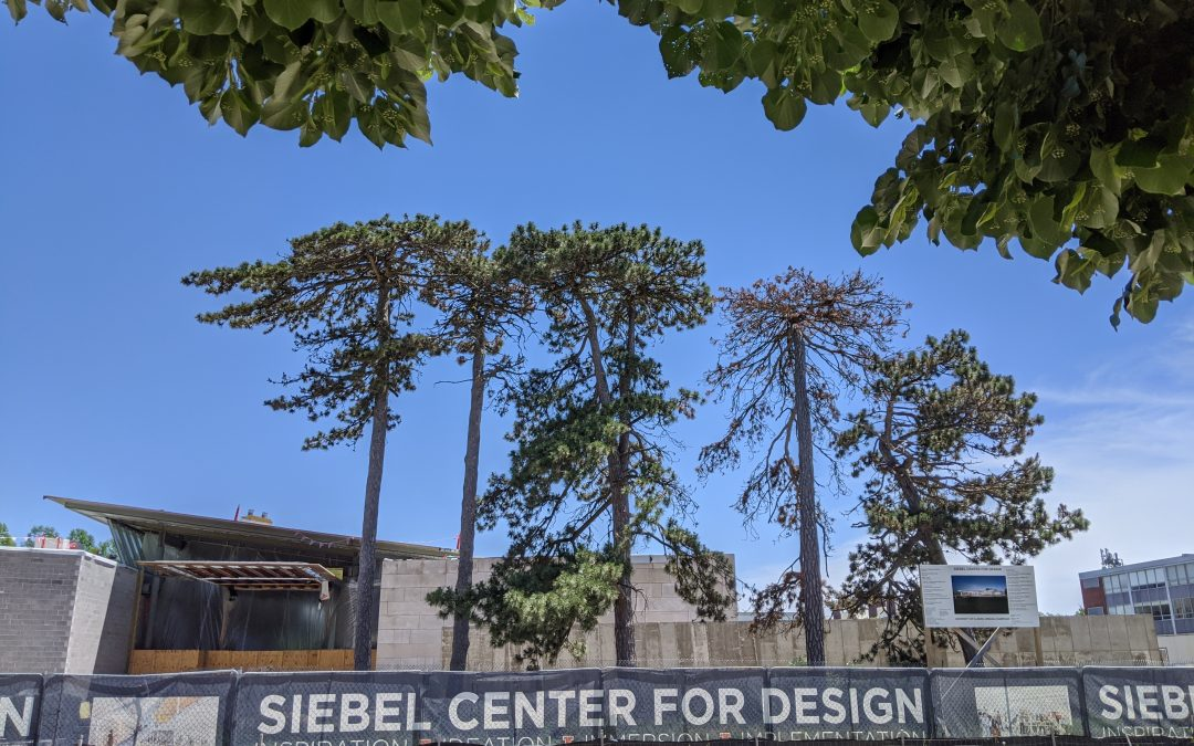 Rooted in Campus History: Century-Old Trees Near Siebel Center Preserved