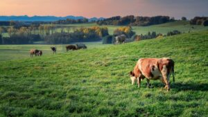 Cattle grazing on a hilly green meadow at sunset. A lone cow is visible in the foreground, with the rest of the herd in the distance.