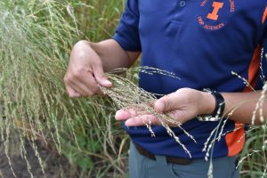 Zoomed-in photo of a researcher holding switchgrass.