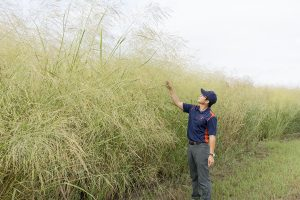 DK Lee stands adjacent to a field of Independence Switchgrass at the Illinois Energy Farm, looking into the field and holding a stalk of switchgrass.